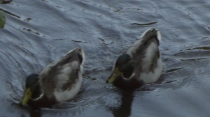 a pair of ducks searching for food