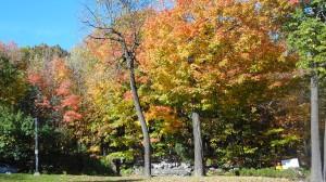 amber autumn leaves