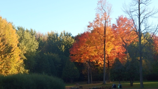 autumn maple leaves at angrignon